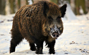 Wanted wild boar and bision.