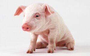 Pork production technician