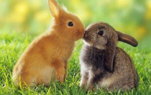 Bébés lapins Angora Anglais, Bélier et Nain