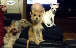 SMALL DOG SITTING,IN HOME OF A CERTIFIED TRAINER West Island Greater Montréal image 3