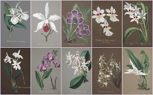 SET-OF-TEN-VINTAGE-GRAPHICS-POSTCARD-SIZE-PHOTO-PRINTS-7x5-ORCHIDS-2