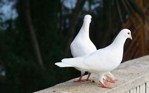 White Doves for Sale