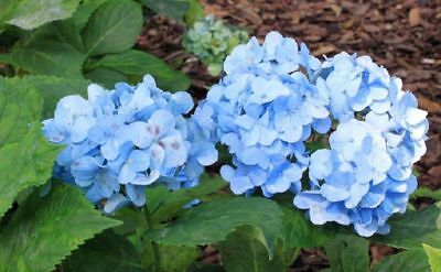 5 Blue Hydrangea Seeds Perennial Hardy Garden Shrub Bloom Flower Seed Bloom 378