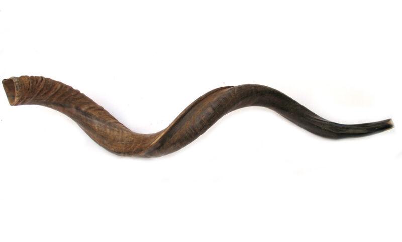 """45""""- 46"""" Jumbo Yemenite Kudu Horn Shofar - Natural"""