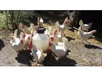 Laying hens 3£
