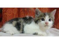 Beautiful ragdoll mix kittens