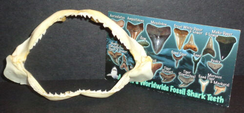 """4.0"""" Shark Jaw! Very Sharp! Comes with FREE Tooth Guide!"""