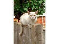 Missing Burmese kitten
