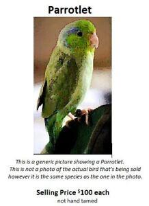 PARROLET BIRD