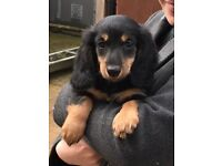 Long haired minature dachshund puppy (male)