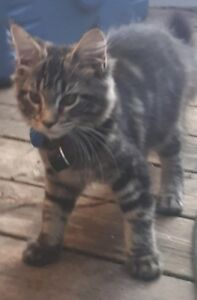 Lost Long Hair Brown Tabby female cat