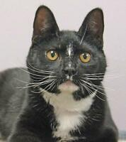 """Young Female Cat - Domestic Short Hair: """"Delilah Blue"""""""