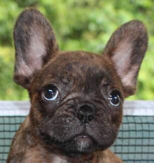 FRENCH BULLDOG PUPS REGISTERED AUSTRALAN KENNEL COUNCIL