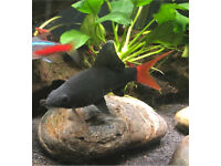 Free Tropical Fish (Red Tail Black Shark)