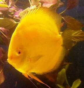 WANTED - FEMALE BREEDER - MILLENNIUM GOLD DISCUS Caboolture Caboolture Area Preview