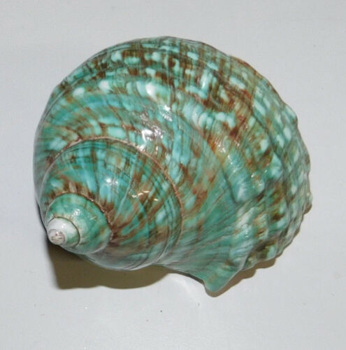 """1 JADE TURBO POLISHED DISPLAY SHELL HERMIT CRAB COLLECTOR 3.5""""+   # ss1133-3.5"""