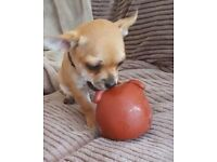 Chihuahua puppy for sale - 1 Tan boy short coat(£600)
