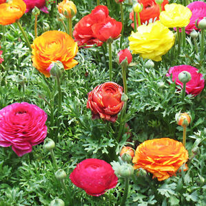 20 Colorful Persian Buttercup Seeds Ranunculus Asiaticus Garden Flowers