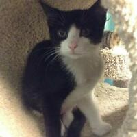 """Baby Female Cat - Domestic Short Hair-black and white: """"Arley"""""""