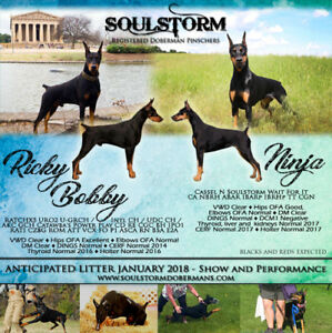 Doberman puppies, available Spring 2018
