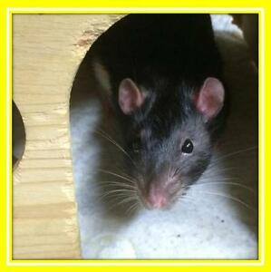 "Adult Male Small & Furry - Rat: ""Victor"""