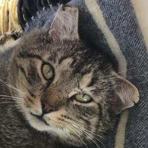 "Young Female Cat - Tabby: ""Jonah"""