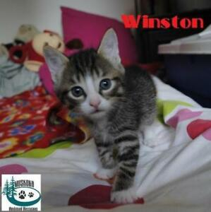 "Baby Male Cat - Domestic Short Hair: ""Winston - Likes to play!"""