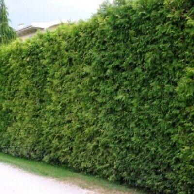80-120cm  Heckenpflanzen /% Hainbuche Carpinus betulus Hainbuchen 10st