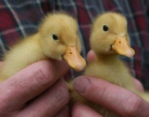 Pekin Ducklings For Sale