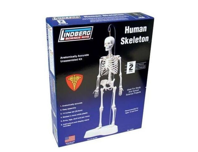 lindberg human skeleton model kit 1 5 | ebay, Skeleton