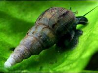 trumpet snails