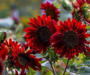 Giant Red Sunflower plants (rare) Lower Mitcham Mitcham Area Preview