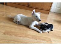 3 adorable pure white German Shepard puppies