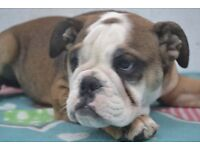 English bulldog female puppy Coco