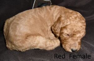 PURE-BRED STANDARD POODLE PUPPIES