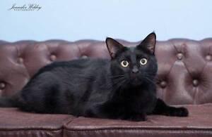 AC0023: Sampson - CAT for ADOPTION - Vet work included Rockingham Rockingham Area Preview