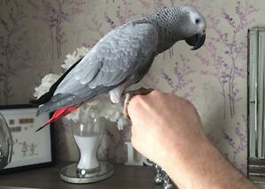 African Grey Congo Female 2 years Old