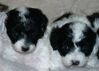 TOP QUALITY, TOY, TEACUP POODLES PUPPIES/ CANICHE