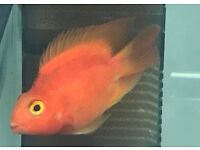 "Red Parrot Fish 3-4"" - Cichlid - £ 11.95 each or 2 for £22"
