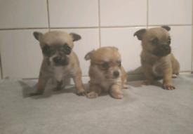 3 Male Chihuahua