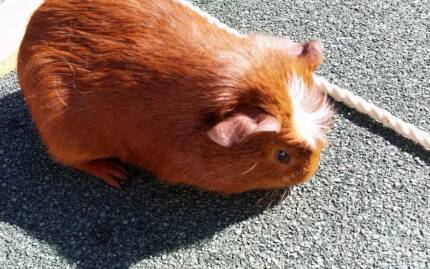 Baby guinea pigs $10ea Meadowbank Ryde Area Preview