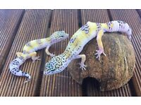 Two Hypo Leopard Geckos £50 for 2