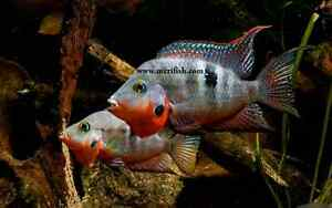 Looking for Firemouth Cichlids