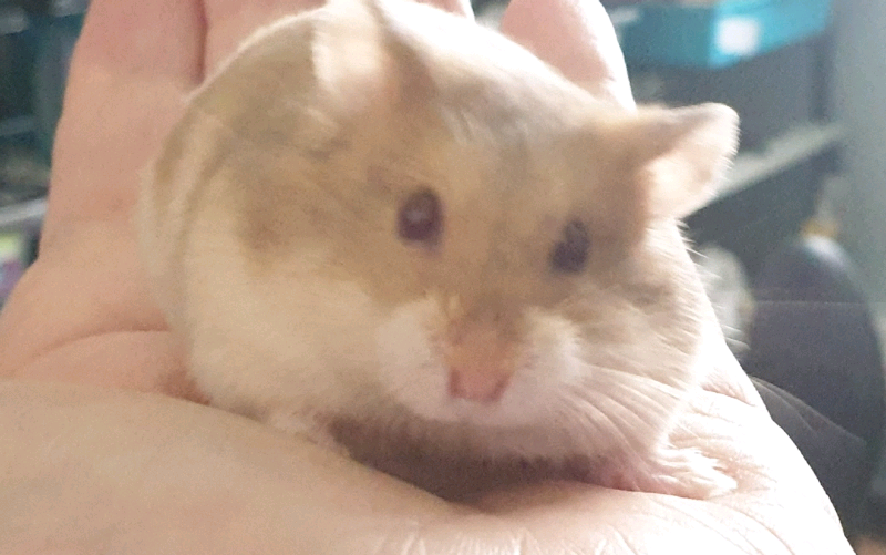 Winter White and Campbell's Dwarf Hamster pups | in Tuffley,  Gloucestershire | Gumtree