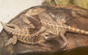 Bearded Dragons BLOWOUT!!!