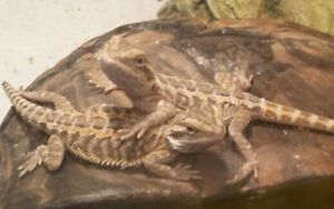 Bearded Dragons ORDER NOW FOR CHRISTMAS
