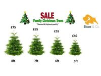 Premium Nordman Spruce Christmas Tress - Free Delivery