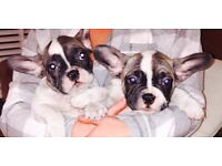 Stunning looking French Bull dogs for sale ready to go to a lovley caring home!!!