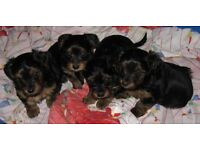 Miniature Yorkshire Terrier Puppies - All Dogs