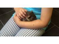 guinea pigs for sale £40 Ono